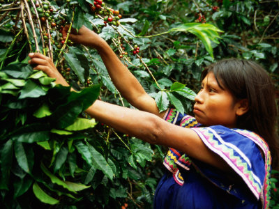 BN20162_45-FB~Guaymi-Indian-Woman-Harvesting-Coffee-Boquete-Panama-Posters